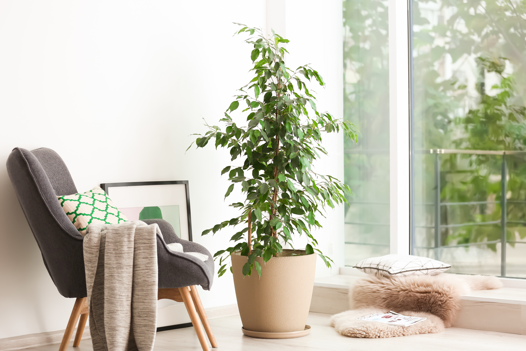 Pot with ficus near large window in living room