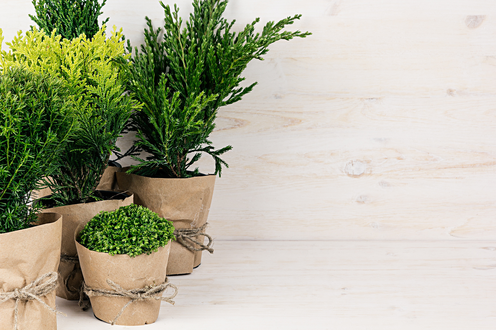 Assortment young green conifer plants in handmade pots with copy space on beige wood table.