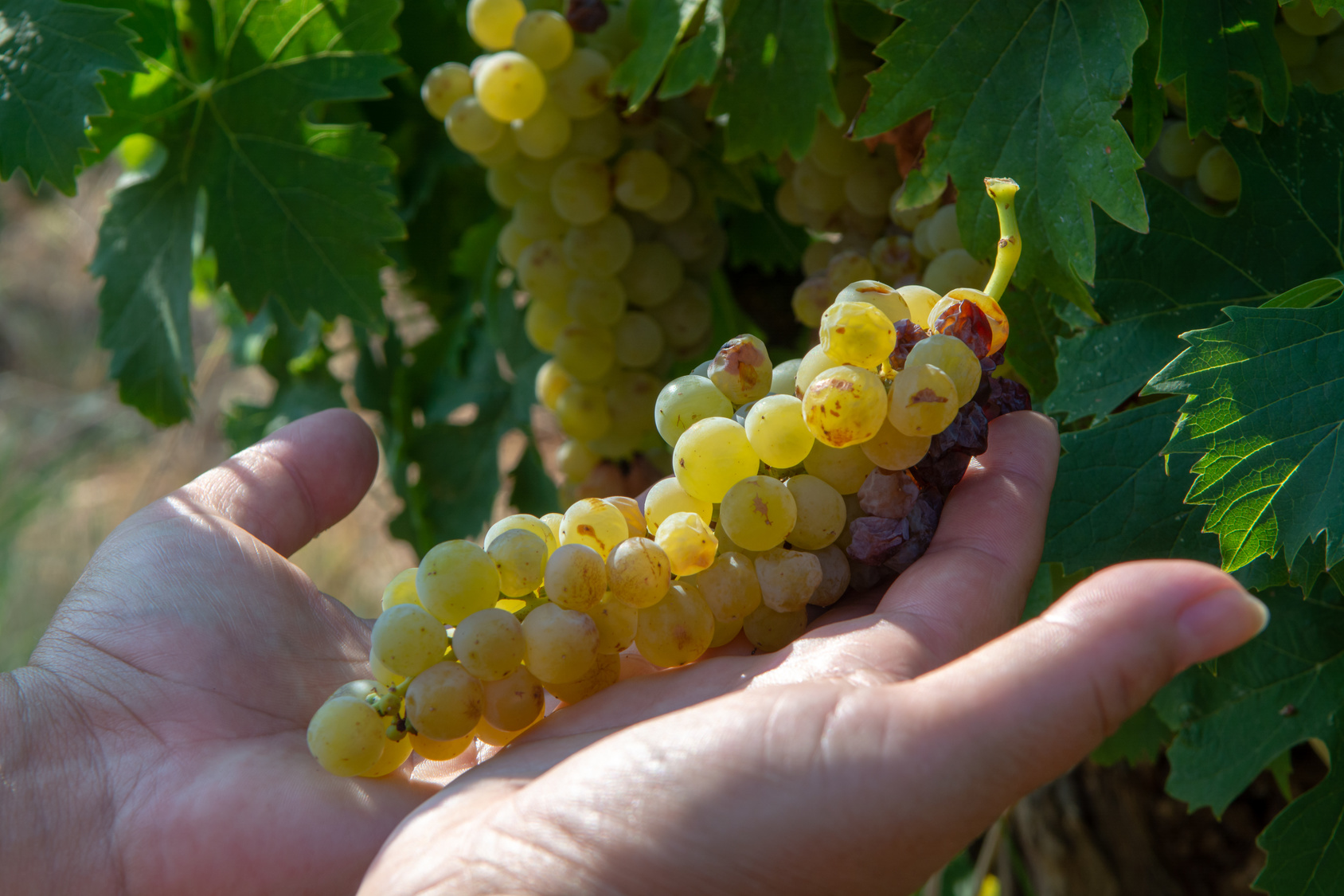 Ripe white wine grapes plants on vineyard in France, white ripe muscat grape new harvest close up