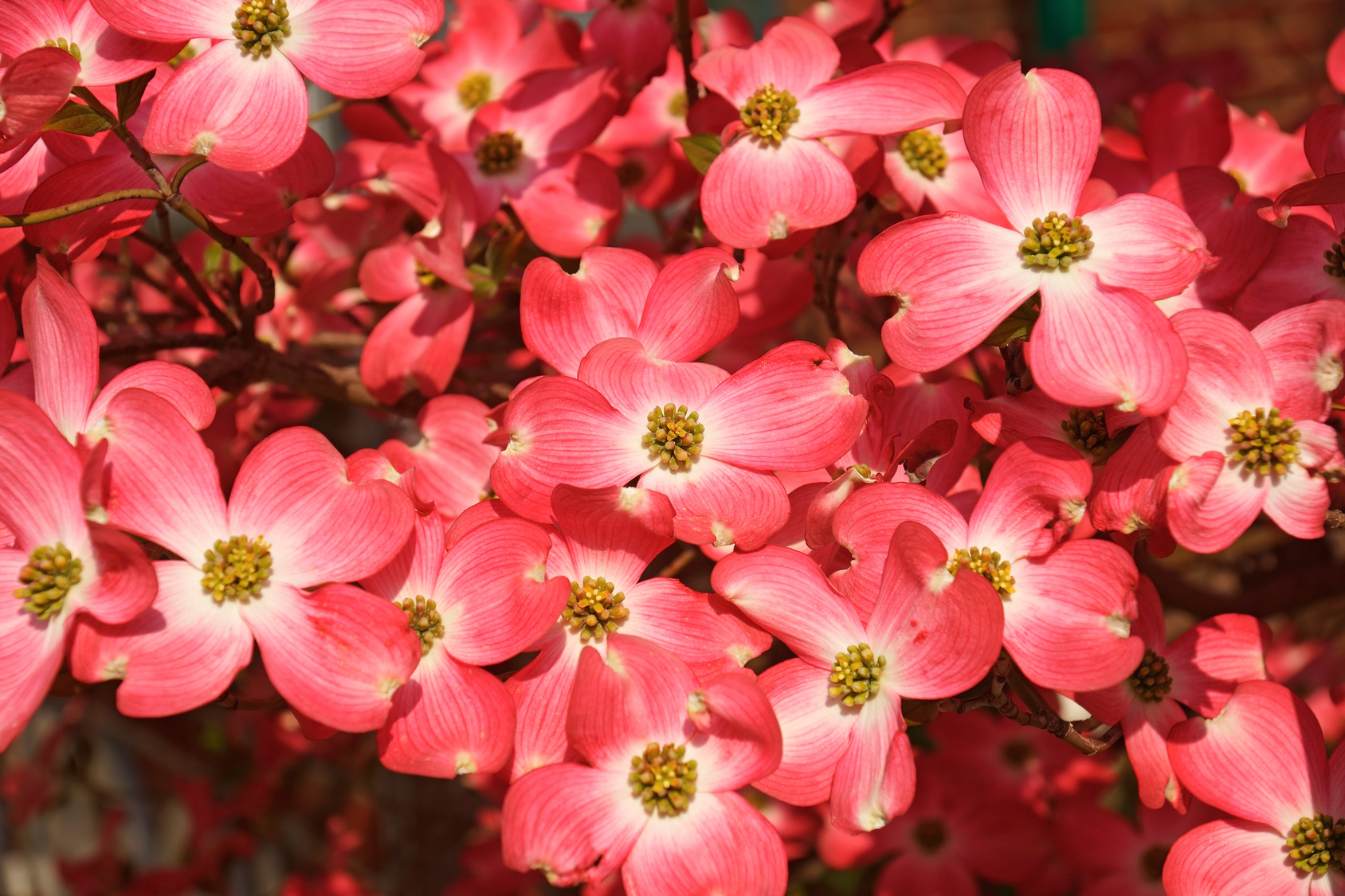 Flowering Dogwood (Cornus florida). Called American Dogwood and Eastern Dogwood also. State tree of North Carolina, West Virginia, Missouri and Virginia
