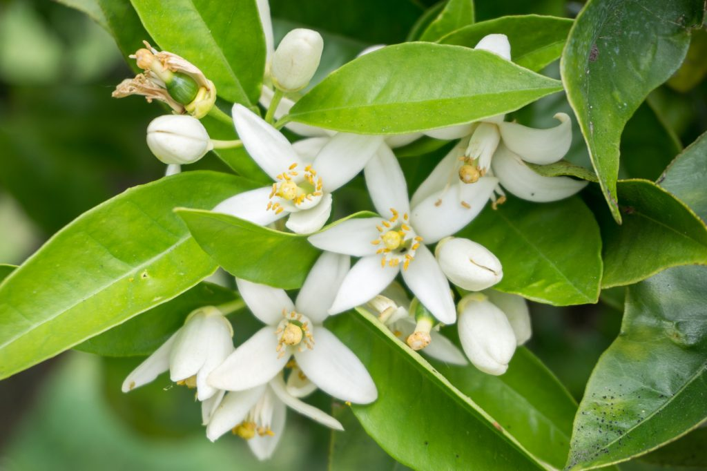 Flowers of lemon tree in an orchard farm
