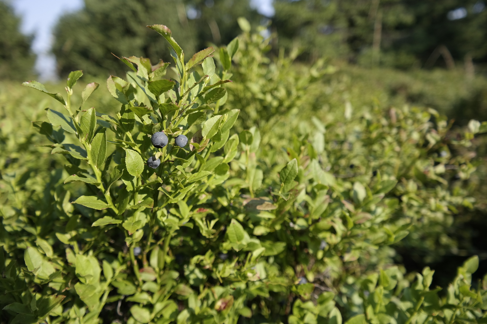 A plenty of blueberries on a blueberry bushes.