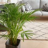 Decorative Areca palm in interior of room